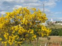 Ipê Amarelo florido